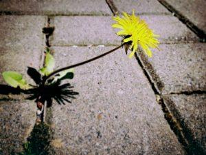 dandelion-public-domain-22